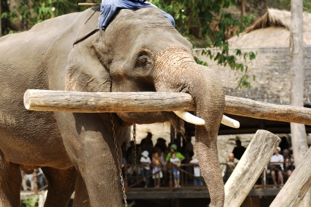 wor: Thailand region of Chiang Mai, elephants show, with an example of animal working Stock Photo