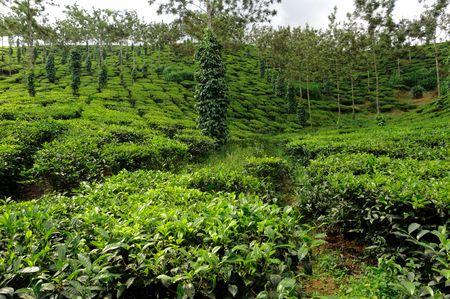 allepey: India Kerala: Tea plantation