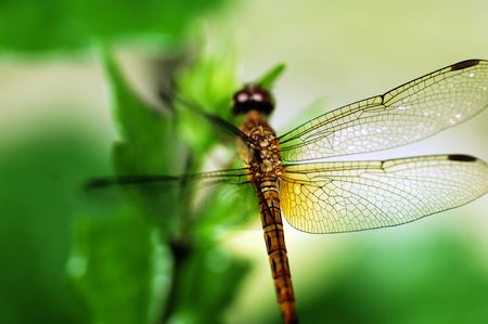 anisoptera: Dragonfly is an insect predator belonging to the order odonata and to the infraorder of anisoptera Stock Photo