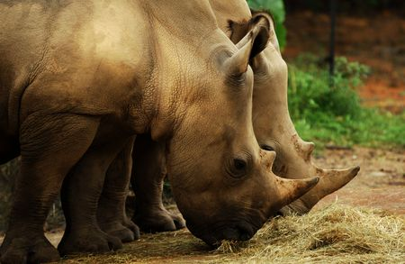 Rhinoceros: they are white rhino with massive bodies, large heads and two horns. Stock Photo