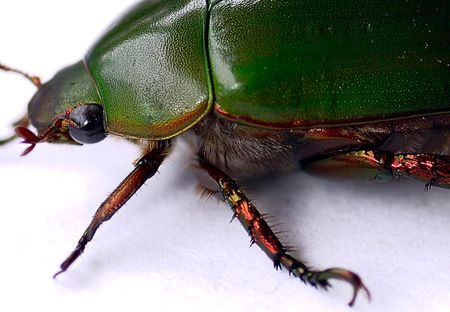 carabidae: Green Carab Beetle are predators with different sizes and colours belonging to the  of carabidae Stock Photo