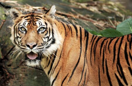 View of the famous and unique tiger of Sumatra Stock Photo - 3571281