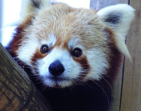 herbivorous: The red panda is known as well as firefox, fire cat, lesser panda or shinning cat. Is an herbivorous mammal bamboo feder leaving in Bhutan, Southern of China, India, Laos, Nepal and Burma