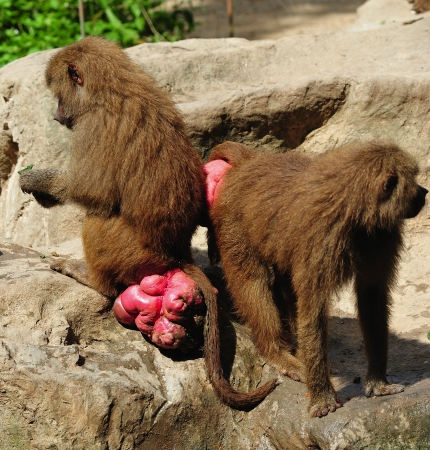 yemen: the hamadryas baboon scientifically known as papio hamadryas is a omnivorous primate and a sacred animal in ancient Egypt, Thoth attendant.