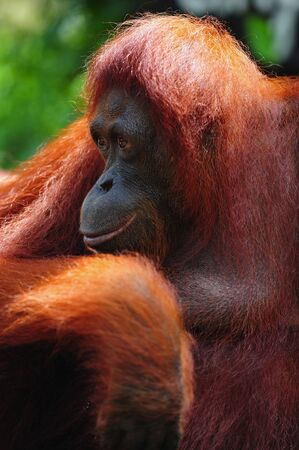 mammalia: the Orangutan is an arboreal animal with long arms native to Indonesia and Malaysia rainforests