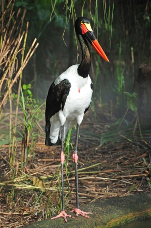 scientifically:  The saddle billed stork is scientifically known as Ephippiorhynchus senegalensis . This huge bird leaves in sub-saharan africa