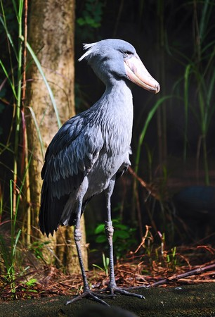 the shoebill scientifically balaeniceps rex is commonly known as whalehead; is  a very large bird leaving from Sudan to Zambia