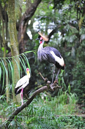 savana:  the Grey crowned crane scientifically known as  Balearica regulorum leaves in dry savana in africa and sahara region; the yellow stork is a large bird from the family of Ibis