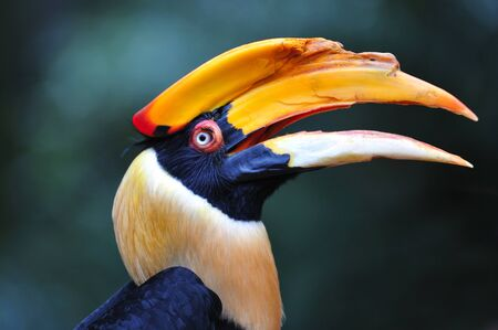 animalia: The hornbill is a bird with a long down curved bill leaving in sub tropical africa and asia. Stock Photo