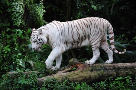 pelage: The white tiger scientifically known as panthera tigris are commonly called snow-white tiger; the animal have a white pelage with dark pale stripes Stock Photo
