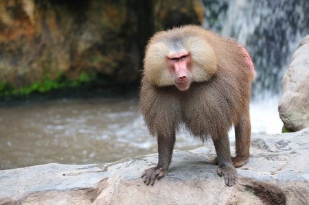primate: the hamadryas baboon scientifically known as papio hamadryas is a omnivorous primate and a sacred animal in ancient Egypt, Thoth attendant.