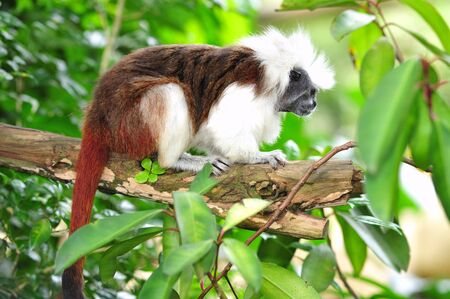 arboreal: The cottontop tamarin  or pinche tamarin is a small arboreal monkey from tropical forests