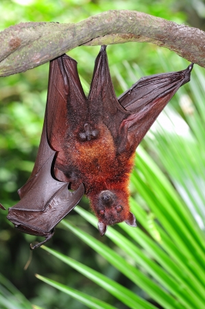 insectivores: The bat is a mammal from the chiroptera order; they are generally insectivores ou frugivores but few are carnivorous Stock Photo