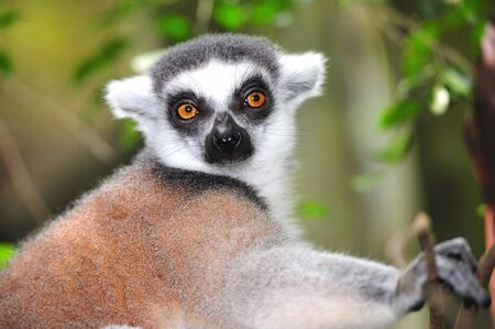 arboreal: The ring tailed lemur is an arboreal crespuscular or nocturnal primate with small upper incisors Stock Photo