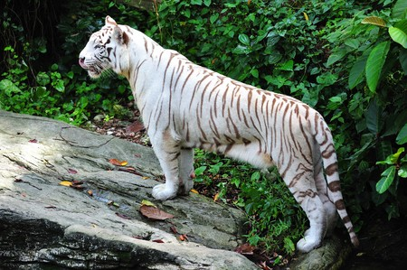 scientifically: The white tiger scientifically known as panthera tigris are commonly called snow-white tiger; the animal have a white pelage with dark pale stripes Stock Photo