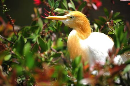 harm: The cattle egret is a stocky  bird with buff plumes from species of heron leaving in harm, tropical and sub-tropical regions