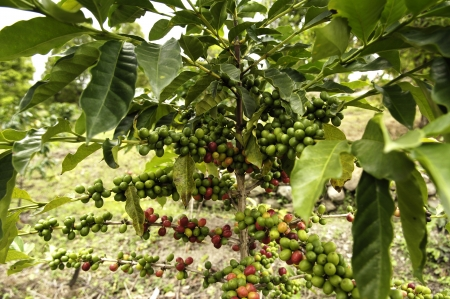 coffee tree: the well known coffee tree of Sumatra island in Indonesia  Stock Photo