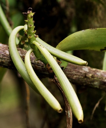 specie: Green vanilla. The vanilla is a flavoring plant native from Mexico and belonging to the specie of vanilla planifolia