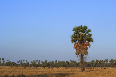 sugar palm: Sugar palm trees and cows everywhere in Banlad  Stock Photo