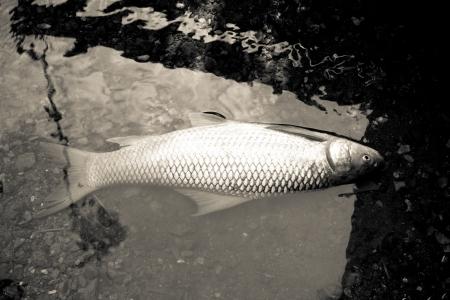 Dead fish in the river