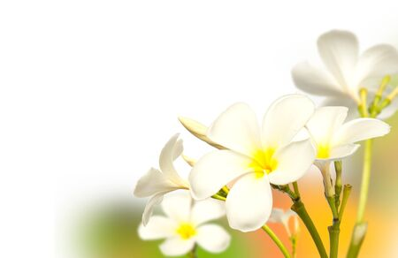 hawaii flower: Frangipani Spa Flowers border.Plumeria