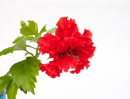 malvaceae: Red full blossom Malvaceae hibiscus flower with green leaves