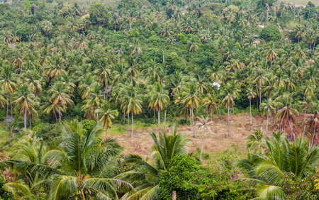 The coconut trees in island