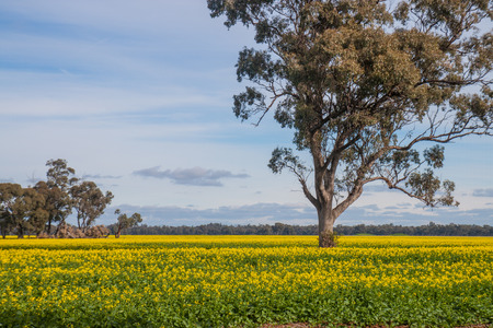 the yellow field in the rural