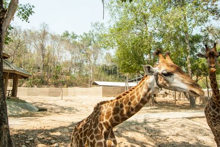 The giraffe in the Chiangmai zoo, Chiangmai, Thailand