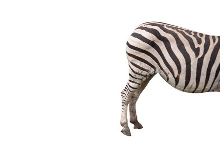 The butt of zebra in isolation with no tail