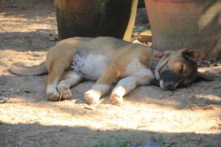 Brown Dog sleep