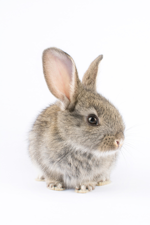Grauer Hase vor weißem Hintergrund