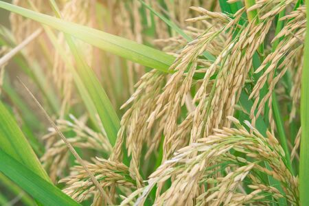 paddy is ready to be harvested