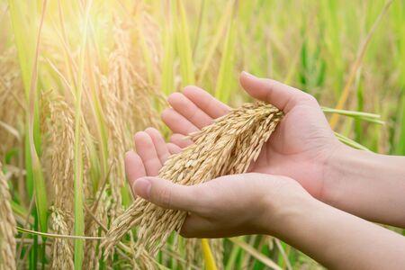 la risaia è pronta per essere raccolta