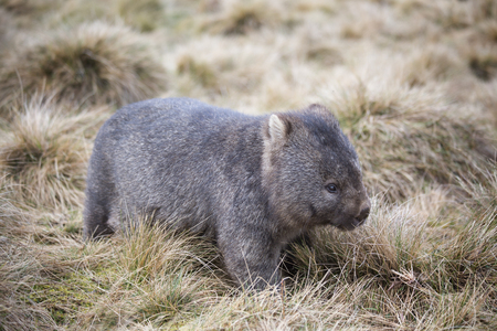 A wombat in its natural habitat in the highlands of Tasmania. 스톡 콘텐츠