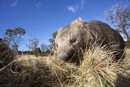 A close up shot of a Wombat foraging in the grassy terrain of the Tasmanian wilderness.. 版權商用圖片