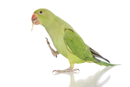 A female Indian Ringneck parakeet eating 스톡 콘텐츠