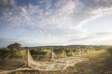 The morning sun lighting a beautiful Vineyard in Western Australia's wine region.