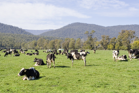 A herd of cows in a green field in Tasmania, Australia. Stock fotó