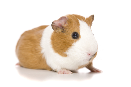 An adorable Guinea Pig portrait on white.