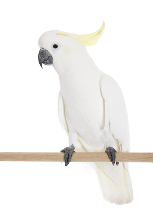 A Sulphur Crested Cockatoo perched in studio shot. Imagens