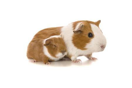 Studio image of a Guinea Pig mother and baby on white background.