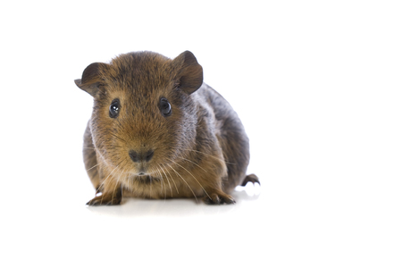 Studio image of a Guinea Pig on white background.