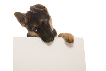 A German Shepherd Puppy chewing on a blank sign, add own tex.