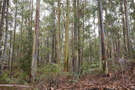 A forest of Eucalyptus trees in Australia. Stock Photo