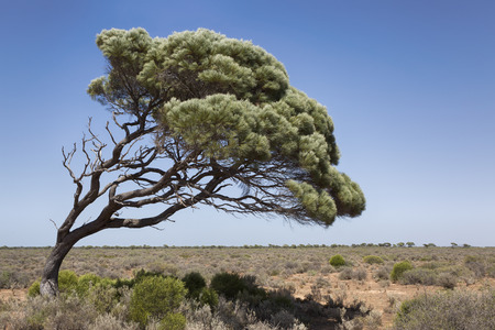 A lone tree at the western end of the Nullarbor Plain on route to Perth Australia.