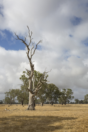 A beautiful dead tree in an Australian field.