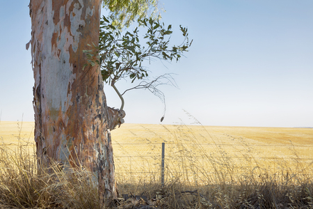 A Gum Tree with a field of Wheat in the background.