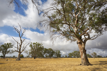A Victorian rural landscape with stunning trees in a sheep paddock.