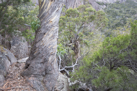 Twisted bark pattern on a majestic Eucalyptus tree with a rocky valley in the background. 写真素材